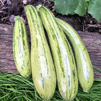 Courgette Seeds - Cocozelle v. Tripolis