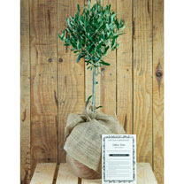 Olive Tree Gift