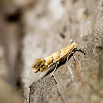 Image of Horse Chestnut Leafminer Replacement Lure