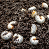 Chafer Grub Killer  - 500m