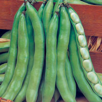 Broad Bean (Organic) Seeds - Super Aguadulce Large