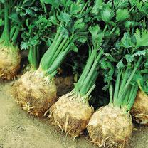 Celeriac (Organic) Seeds - Prinz