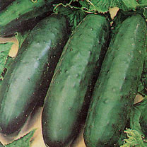 Attractive dark green cylindrical fruit up to 20cm in length. Continuous high yield throughout the season. Resistant to cucumber mosaic virus.