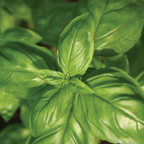 The most popular basil, with large, fleshy leaves and classic strong flavour. Prefers a warm, dry spot.