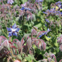 Borage (Organic) Seeds