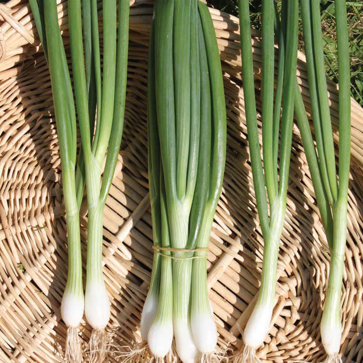 Spring Onion (Organic) Seeds - White Lisbon