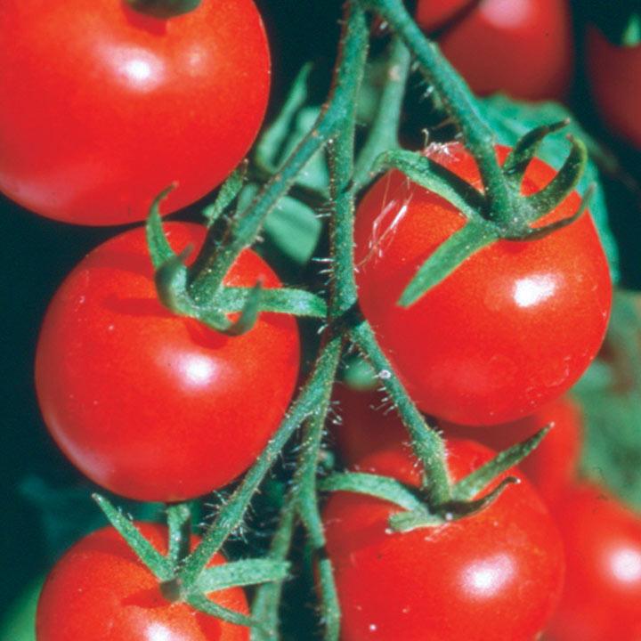 Tomato (Organic) Seeds - Gardener's Delight