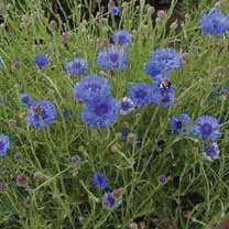 Cornflower (Organic) Seeds - Double Blue