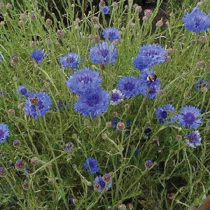 Cornflower (Organic) Seeds - Double Blue