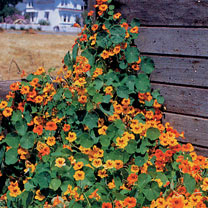 Nasturtium (Organic) Seeds - Tall Mix