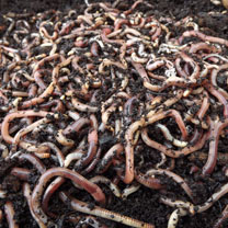 Brandling Worms for Compost (1000)