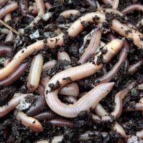 Earthworms (average 100)