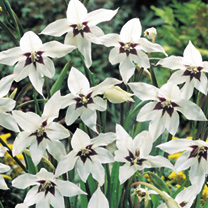 Acidanthera Bulbs - Murielae