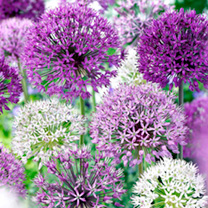 Allium Bulbs - Purple Mix
