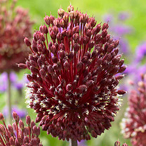 Image of Allium Bulbs - Red Mohican