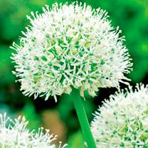 Image of Allium Bulbs - Mount Everest