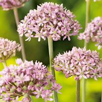 Image of Allium Bulbs - Pink Jewel