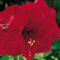 Amaryllis (Indoor) Bulb - Red