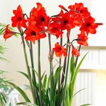 Amaryllis Bulb - Red Garden