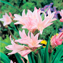 Image of Amarcrinum Bulbs - Howardii