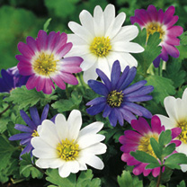 Delightful, daisy-like flowers and delicate fern-like foliage. For maximum impact plant in bold drifts. Flowers March-April. Height 15cm. Rhizome size