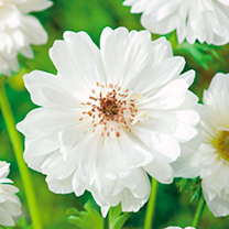 Anemone Bulbs - Mount Everest