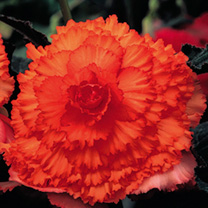 Begonia Tubers - Prima Donna Orange
