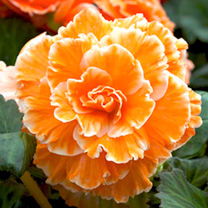 Image of Begonia Tubers - Expresso Sugardip Apricot