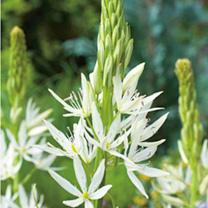 Camassia Bulbs - leichtlinii Alba