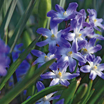 Chionodoxa Bulbs - Blue Giant