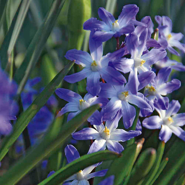 chionodoxa bulbs blue giant flower bulbs a to c. Black Bedroom Furniture Sets. Home Design Ideas
