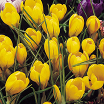 Image of Crocus Jumbo Bulbs - Yellow Mammoth