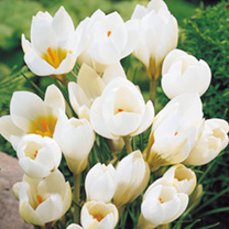 Crocus Bulbs - Snowbunting