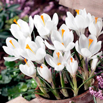 Crocus Bulbs - Jeanne d'Arc