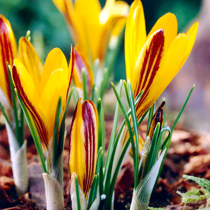 Crocus Bulbs - Cloth-of-Gold