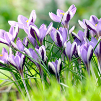 Image of Crocus Bulbs - Spring Beauty