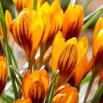 Image of Crocus Jumbo Bulbs - Orange Monarch