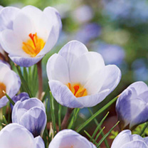 Image of Crocus Bulbs - Blue Pearl
