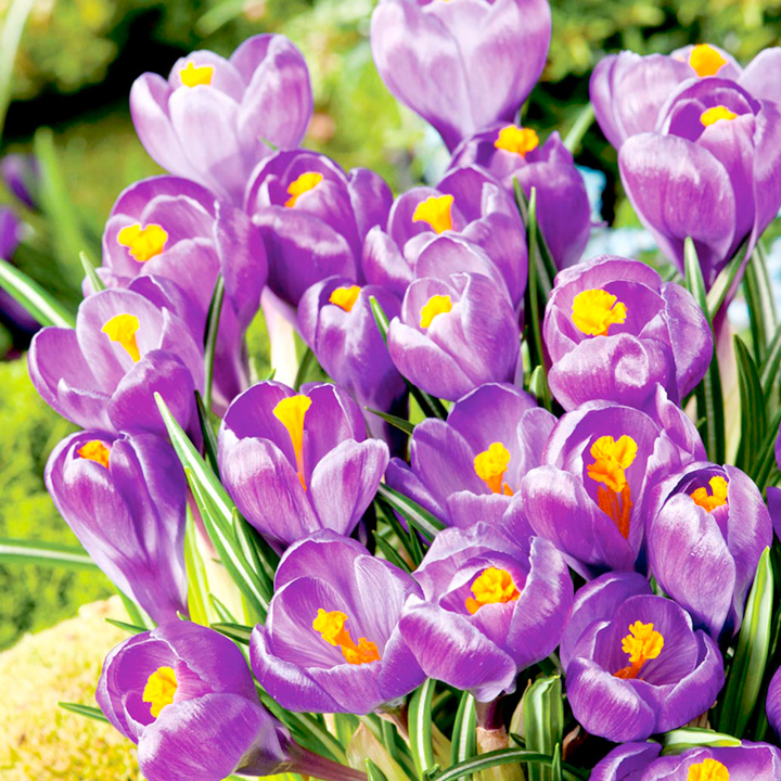 Crocus Jumbo Bulbs - Flower Record