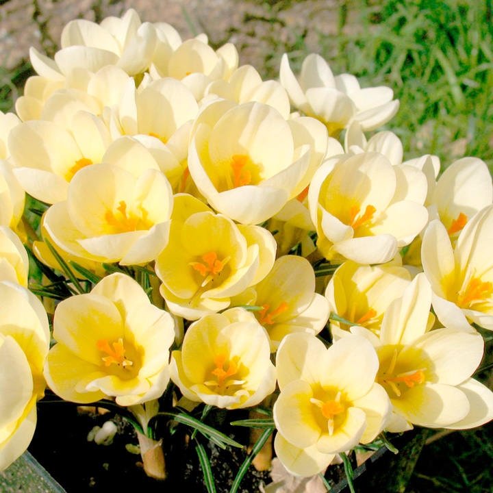 Crocus Bulbs - Cream Beauty