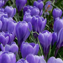 Crocus Bulbs - Grand Maitre