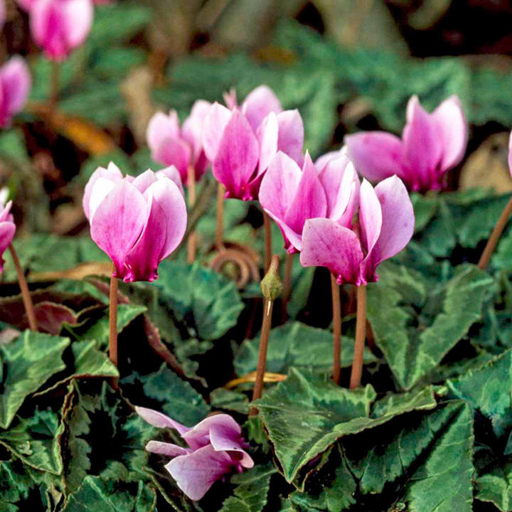 Cyclamen bulbs - hederifolium