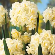 Daffodil Bulbs - Erlicheer