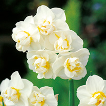Daffodil (Double) Bulbs - Cheerfulness