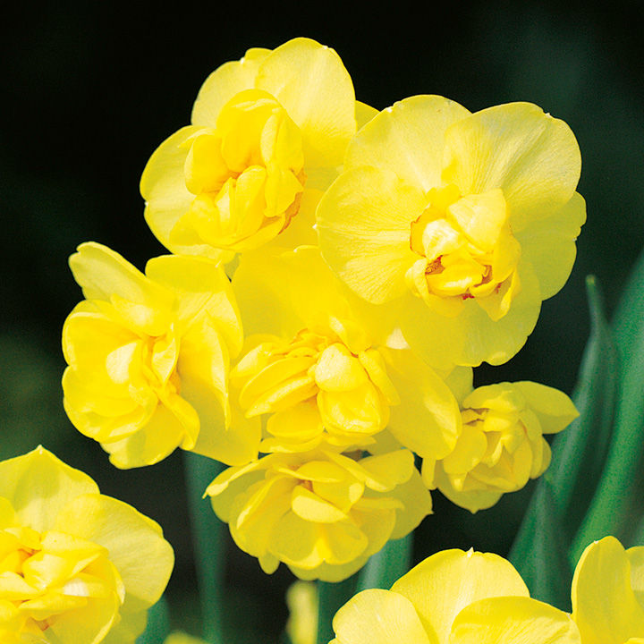 Narcissus Bulbs - Yellow  Cheerfulness (Double)