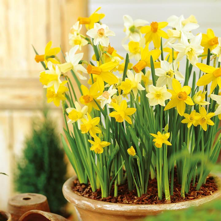 Daffodil Miniature Bulbs Patio Mix Dobies