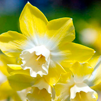 Image of Daffodil Bulbs - Pipit