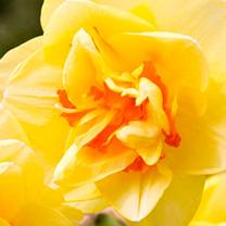 Daffodil Double Bulbs - Tahiti