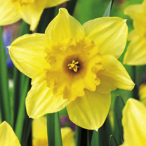 Image of Daffodil Bulbs - Carlton