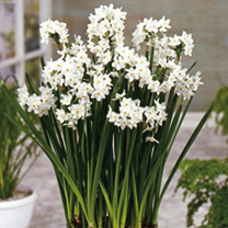Image of Narcissus papyraceus Bulbs